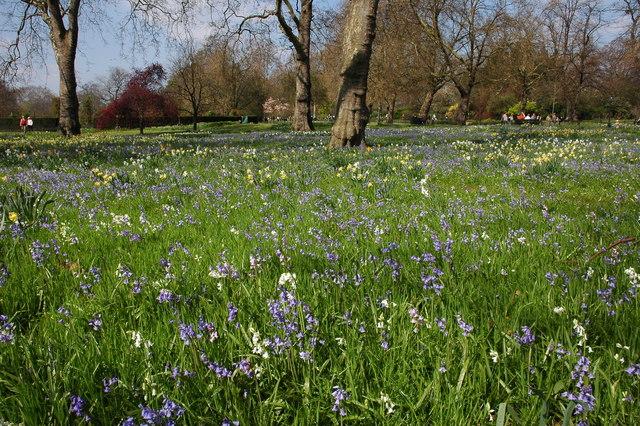 Bluebells near Hyde Park Corner