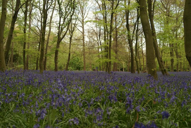 Bluebells in Chalet Wood Wanstead Park
